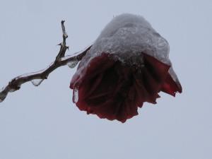 Last rose...